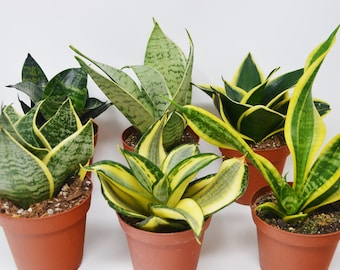 varieties of snake plants的圖片搜尋結果