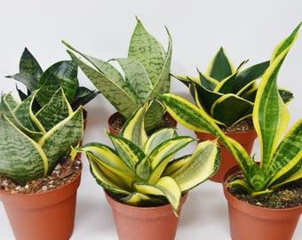 Varieties Of Snake Plantsçšu201eåœu2013çu2030u2021æ œå°u2039çµ æžœ
