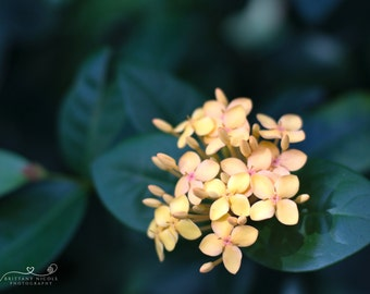 Flower Stock Photo, Stock Photography, Nature Photography, Stock Image, Digital Download Soft Yellow Flower Photography