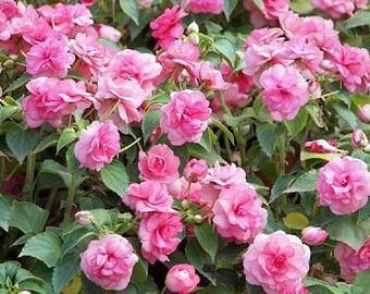 Camellia Seeds Balsam Mix, Attract Butterflies to Your Garden, 25 Seeds