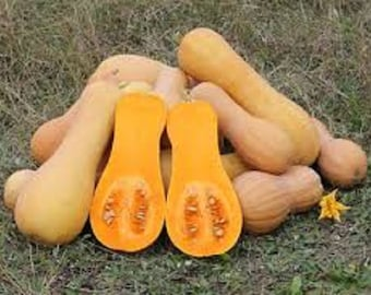 Organic Waltham Butternut Winter Squash Vegetable Seed most popular butternut uniform shape and size and better interior texture and color