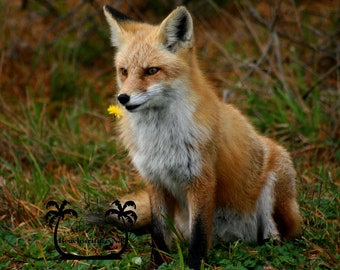 Red Fox 5x7 8x10 Printed fine art photo Island Beach Jersey Shore NJ