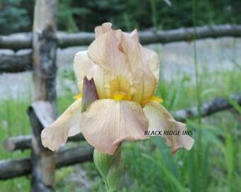 Tall Bearded Iris CASCADE SPLENDOR 1944 Historic pink