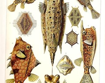 Ernst Haeckel 2010 Art Print Beautiful Colored Book Page PLATE 41 42 Beautiful Aqua Brown TrunkFish Blowfish Ocean Nature Stars Corals