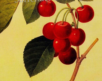 Cherries Prunus Cerasus Redoute Vintage Fruit Botanical Agriculture Lithograph Print To Frame 134