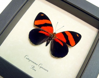 Dad's & Grad's Gift Real Blood Red Butterfly Conservation Quality Display 714