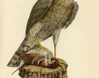 Vintage lithograph of the Eurasian sparrowhawk or northern sparrowhawk from 1953