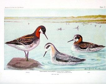 Northern Phalarope, Wilson's Phalarope - Fuertes Bird Print - 1936 Vintage Book Page - 8 x 11