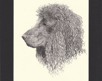 Irish Water Spaniel Vintage Dog Print by C.Francis Wardle - 1935 Print of Drawing, Mounted with Mat Spaniel Print