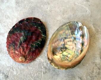 """Chino Abalone Shell (2"""") - Haliotis Assimilis"""