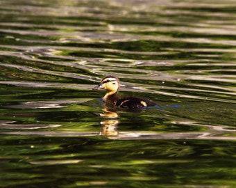 Summer Duckling