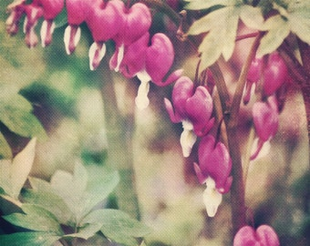 Spring Flower Photograph - Dancing Bleeding Hearts - 8x10 fine art print - spring cottage chic pink green ivory flower textured home decor