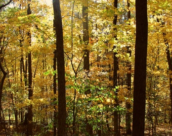 """Autumn Foliage Photography, Forest, Nature, Woodland, Rustic, New England, Gold, Yellow, Sunlight, 6x9 or 8x12. """"Autumn Cathedral, No.2."""""""