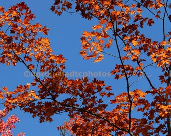 Orange Maple Leaves Dancing in the Cyan Sky Photograph
