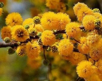 Sweet Cassie Absolute (Acacia farnesiana) 100% Pure Cassie Absolute Egypt