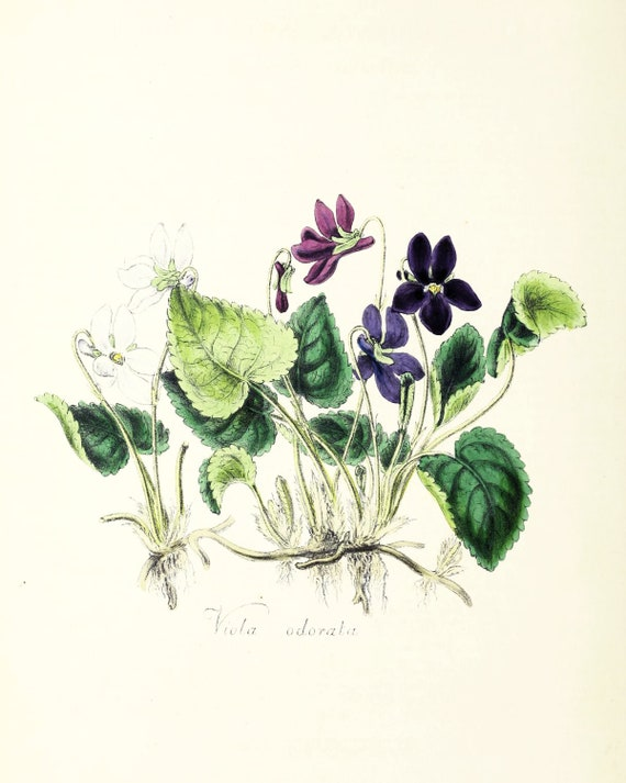 Vintage Violet Botanical Illustration Printables