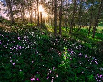 Landscape Photography,Cyclamen hill, Wall Decor, Forest, Nature , Wild Flowers, Fine Art Photograph, Spring