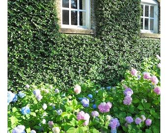 Hydrangeas Garden Photograph