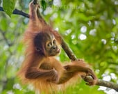 Animal Photo, BABY ORANGU...