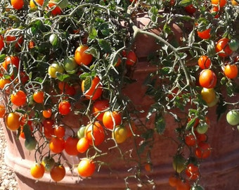 Red Tumbling Tom Cherry Tomato Seeds dwarf tomato plants heriloom tomatoes tiny tomato mini tomato plants grow your own vegetable seeds