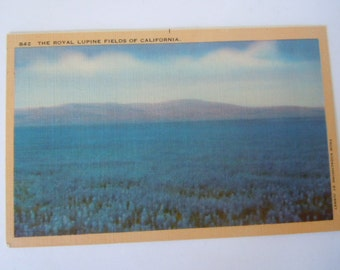 Royal Lupine Fields of California Postcard
