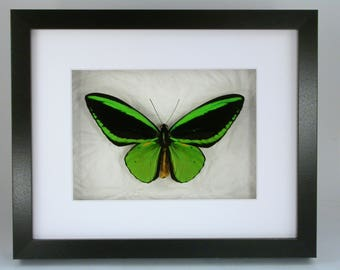 Brilliant Chartreuse Green Ornithoptera Priamus -Real Framed Butterfly