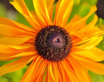 Brown Eyed Susan, wall art. Welsh Photographer, Flowers, Flower photo, Brown Eyed Susan photo,