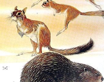 Animal Print - East African Springhaas, Beaver - 1973 Vintage Book Page - Animal Encyclopedia - 10 x 7