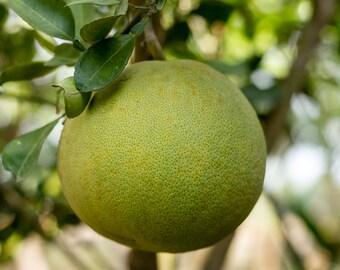 Grapefruit Essential Oil | 100% Pure Therapeutic Essential Oil | 1/2 oz (15ml)