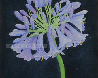 agapanthus lily watercolor-agapanthus painting-botanical watercolor-botanical art-flower watercolor-flower painting-fine art print
