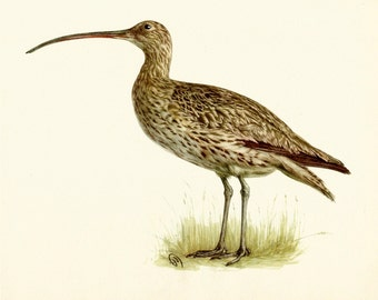 VINTAGE BIRD ILLUSTRATION Common Curlew Bird Print Lodge and Country Home Decor Vintage Animal Wall Art (ham13)