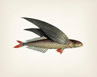 Unique 1801 flying fish drawing - 8x10 Fine art print of a vintage natural history antique illustration