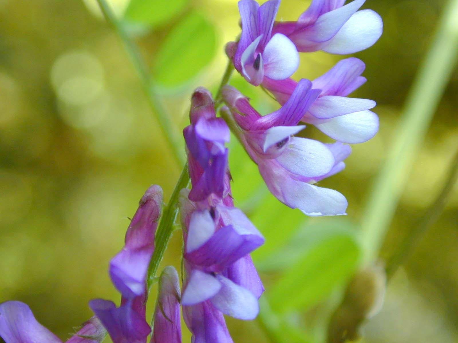 100 hairy crown vetch russian vetch vicia villosa flower vine seeds izmirmasajfo