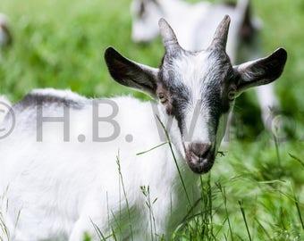 French Alpine Buckling, Goat Farm, Photo, Fine Art Print