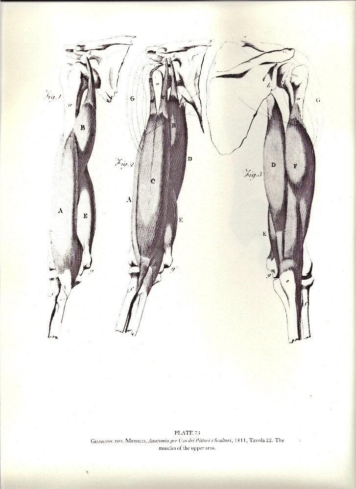 Menschliche Anatomie Muskeln des Oberarms oder Muskeln des