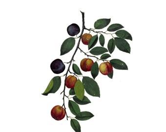 "Medieval Botanical Plums Temporary Tattoo - ""Why So Glum, Sugar Plum?"""