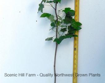 American Sweetgum (Liquidambar styraciflua) Live Potted Plants - 24-36 Inches Tall