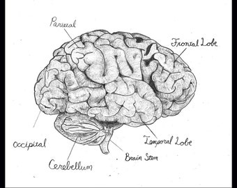 "Brain Anatomy, signed 8.5""x11"" print"