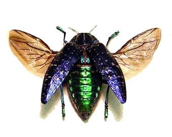 Dad's & Grad's Real Purple Gem Jewel Beetle Conservation Display 6334
