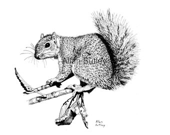 Squirrel Note Card with envelopes, Pack of 6, Reproduction from original, Allan Sutley Artist, Pen and Ink
