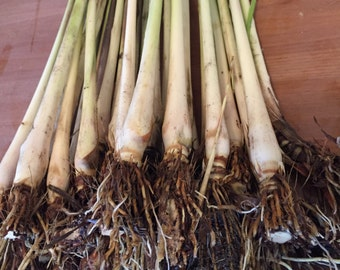 Lemongrass Stalks Plugs Cymbopogon Sereh Plant Healthy Herb Lemon Grass Tea