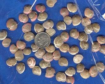 "Drilled pink umbonium Seashells - 100+ -pink button shells- 1/2"" jewelry-shellcraft-beach decor- shell art-shell craft supplies-mini crafts"