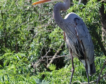 Blue Heron (16 x 24 Glossy Poster)