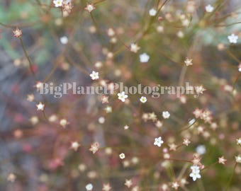 Tiny White Flowers, Fine Art Photograph, Floral, Wildlife, Nature, Spring, Summer