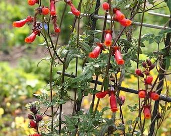Vermillion Chilean Glory Vine Seeds (Eccremocarpus scaber)