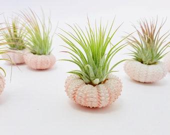 Tillandsia air plant, pink Sea Urchin, wedding, hanging plant decoration plant decoration, ruffled plant, tillandsia jellyfish, sea urchin