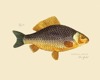 """Vintage Fish """"Die Giebel"""" Print 8x10 P174"""