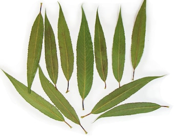 """Real dried pressed leaves of Common Osier, 10-14cm, 4-5.5"""". Botanical material for crafts, herbarium, teaching, arts."""