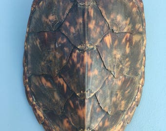Antique Turtle shell