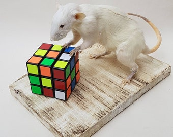 Taxidermy white rat with rubik's cube